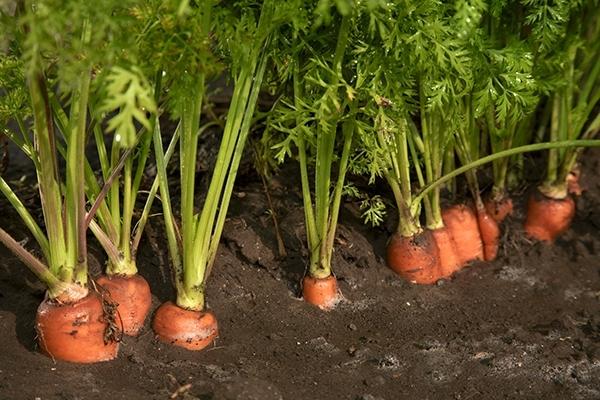 морковь требует прореживания
