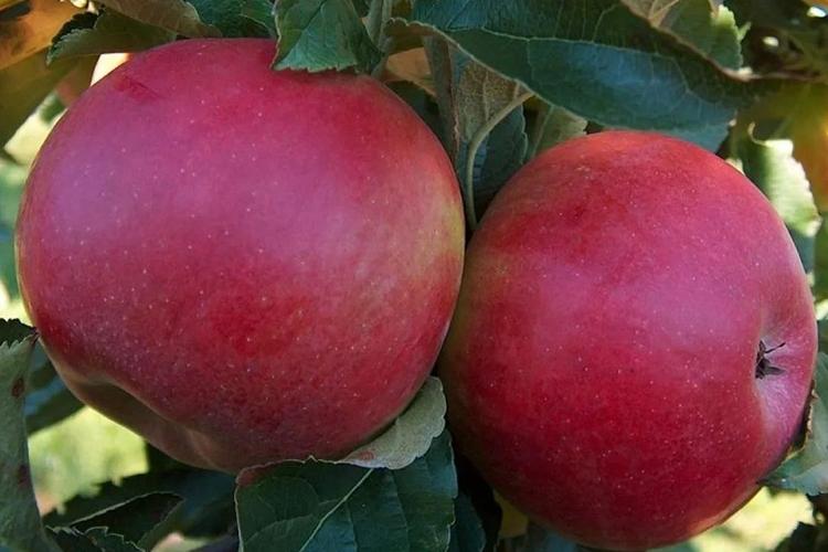 Яблоки Мелба Ред