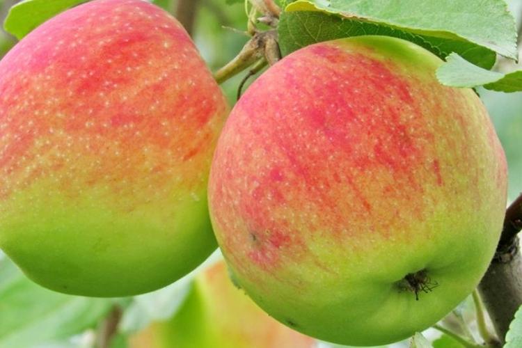 Яблоки Дочь Мельбы