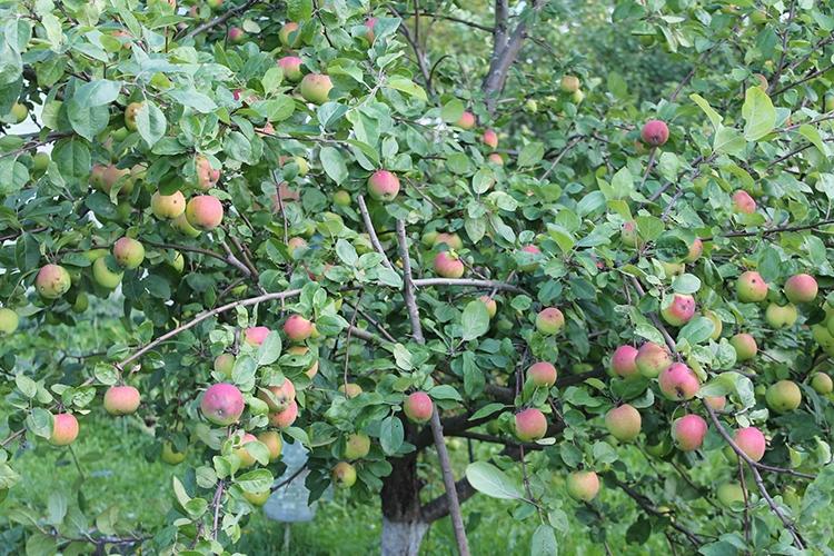 Яблоня Мельба - описание
