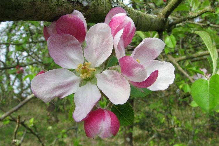 Яблоня Мельба в цвету