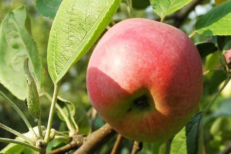 Яблоня Мельба - плоды
