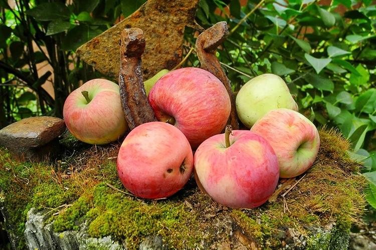 Яблоня Мельба - урожайность