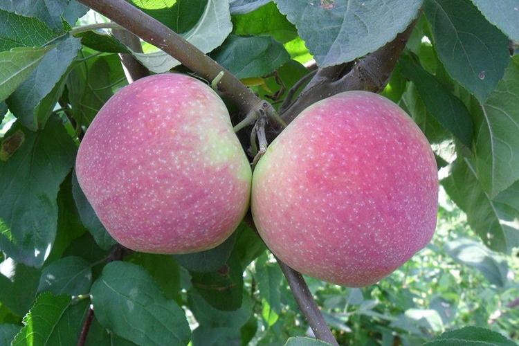 Яблоня Мельба - характеристика
