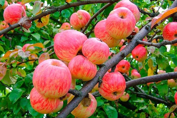 Яблоня Мельба - особенности выращивания