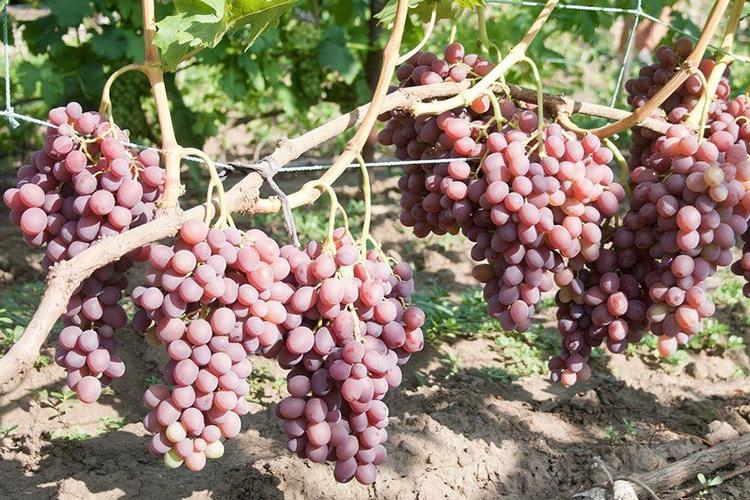 Виноград Ливия - нагрузка на кусты