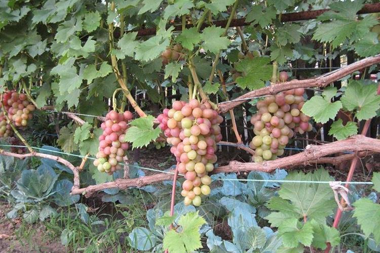 Виноград Ливия - описание