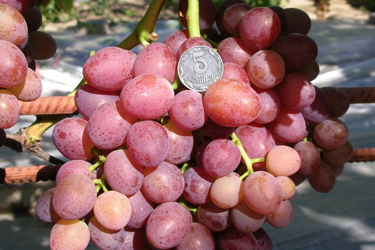 Виноград Ливия - ягоды