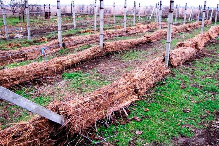 Виноград Ливия - укрытие на зиму
