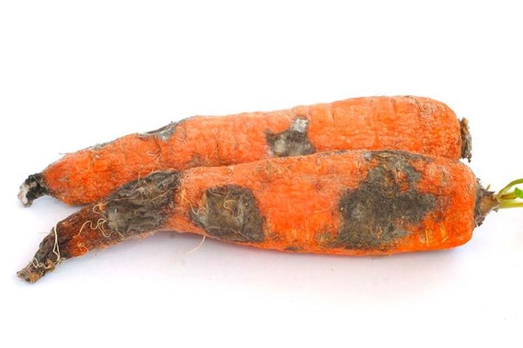 Сухая гниль на моркови