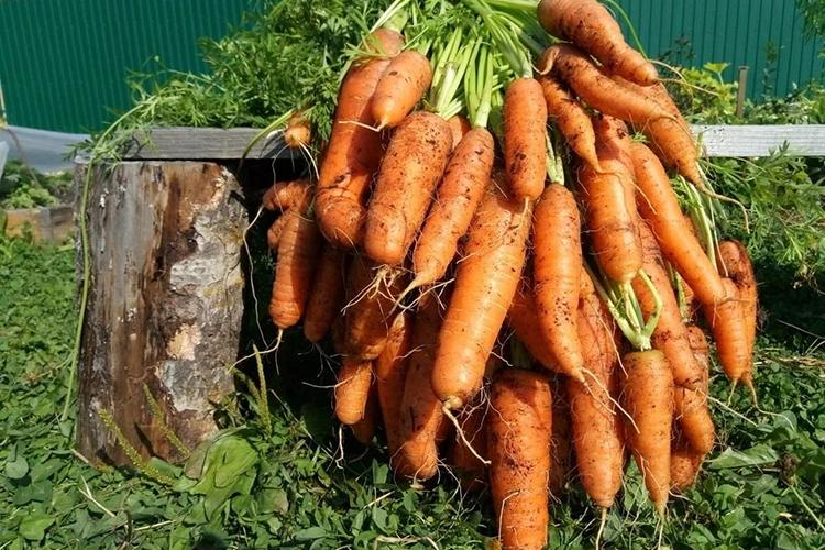 Уборка урожая моркови