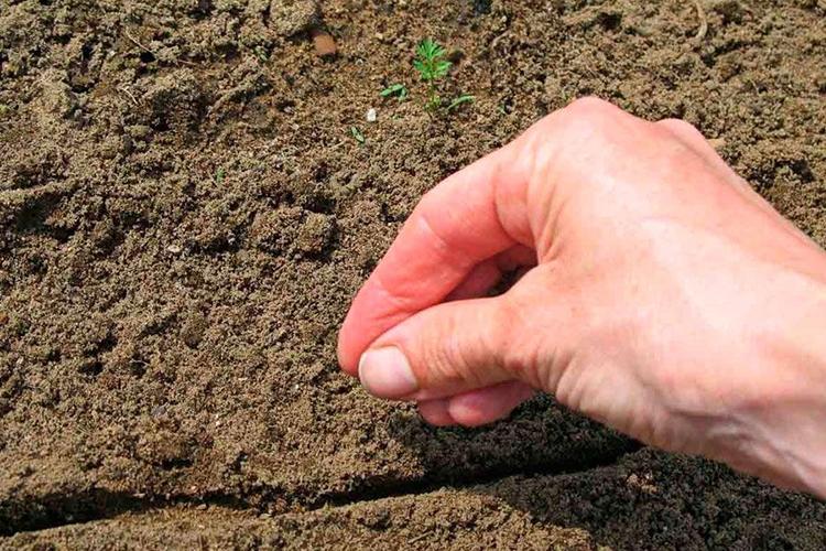 Как выращивать морковь в открытом грунте осенью