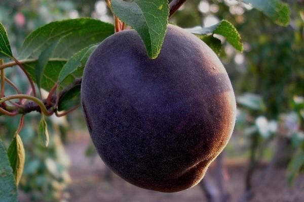 абрикос черный бархат фото
