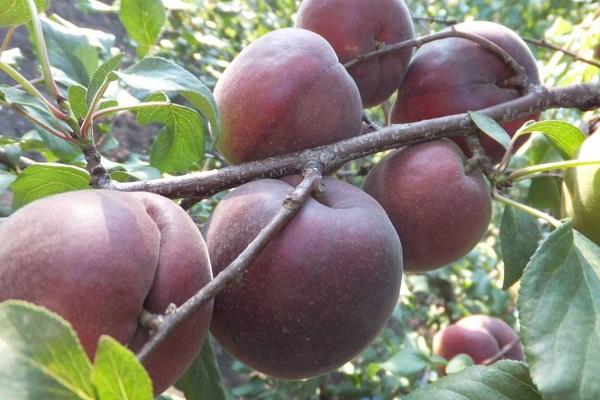 Описание сорта абрикоса Черный Бархат