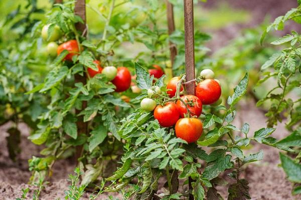 Описание сорта помидор Данко