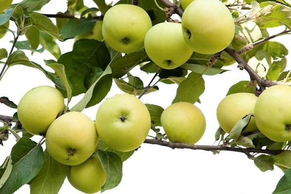Описание сорта яблок Белый Налив