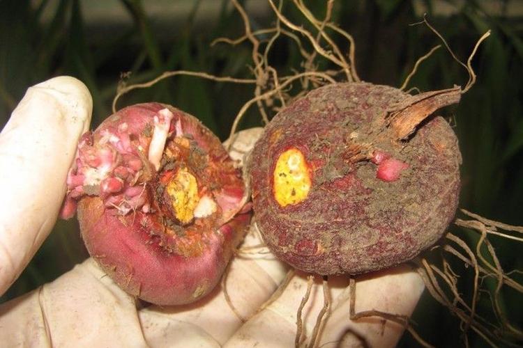 Период выкапывания луковиц гладиолусов