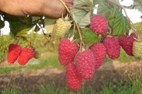 Описание сорта малины Брусвяна