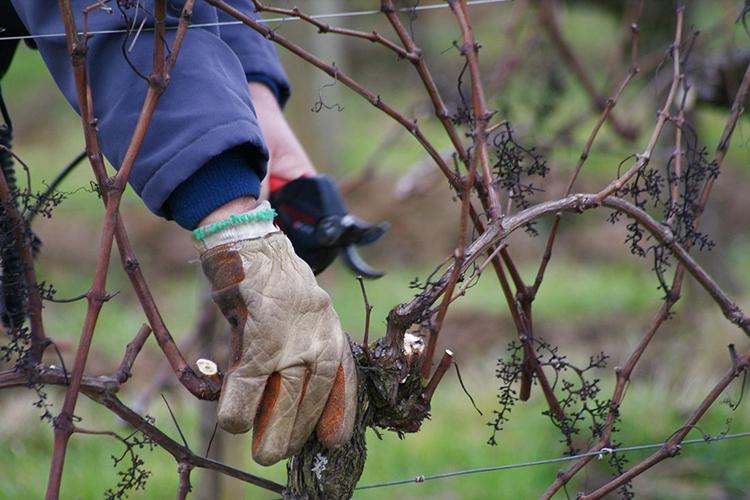 Осенняя обрезка взрослого винограда