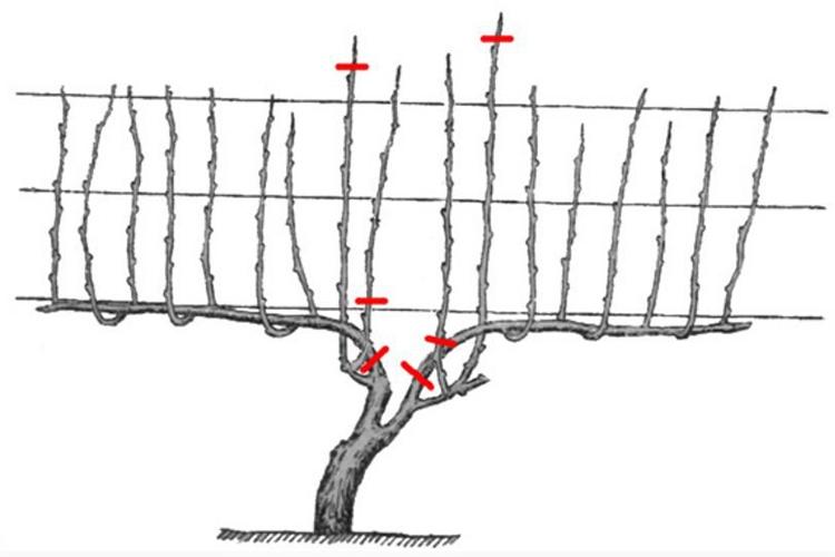 Принципы обрезки винограда осенью