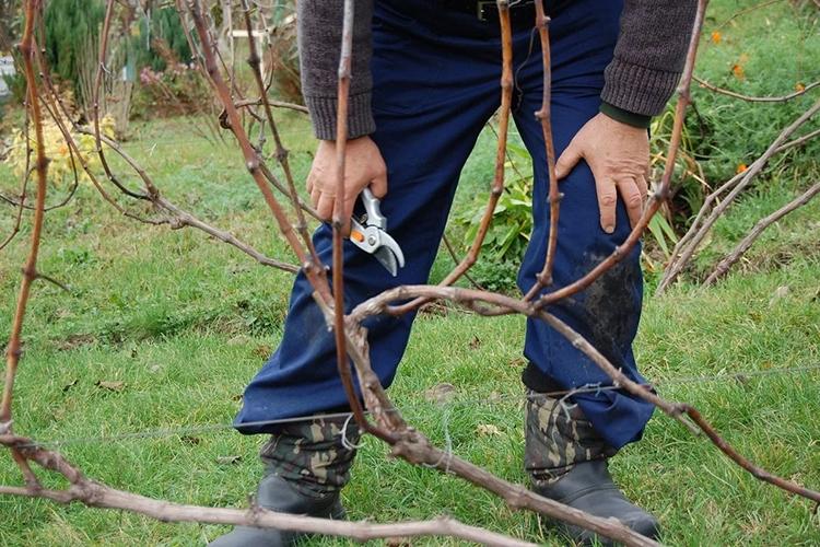 Обрезка двухлетнего винограда