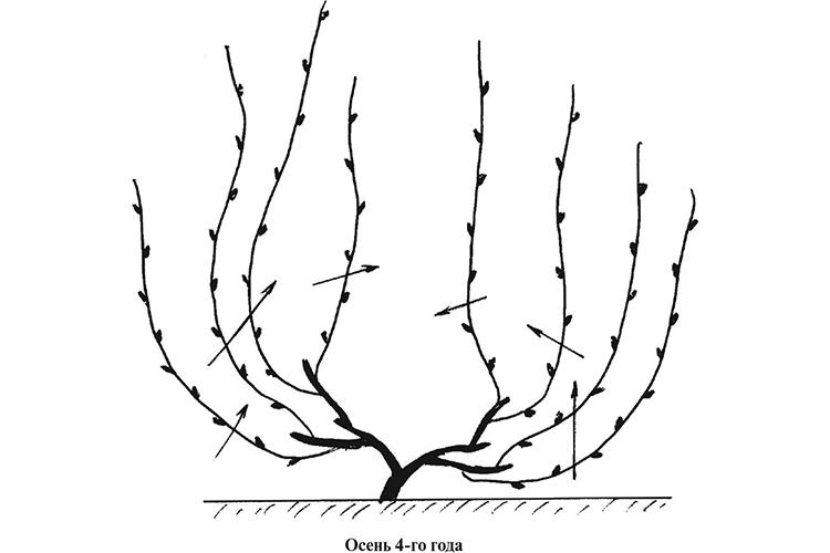 Обрезка четырехлетнего винограда