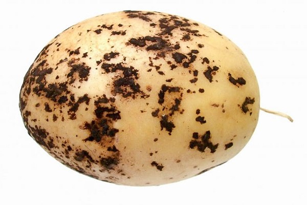 Парша на картофеле - что делать и как бороться