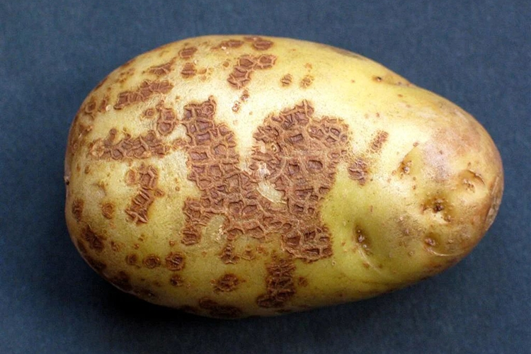Описание и методы борьбы с паршой картофеля