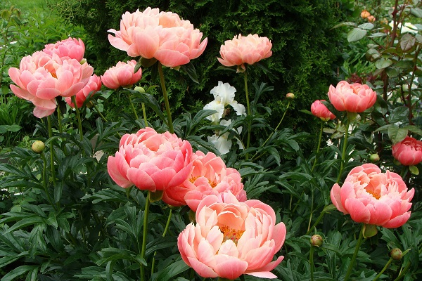 Популярные сорта пионов для сада