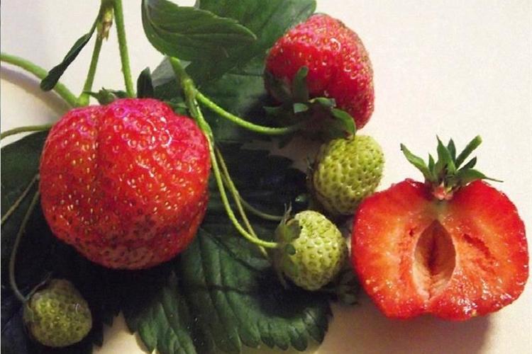 Клубника Витязь - ягода