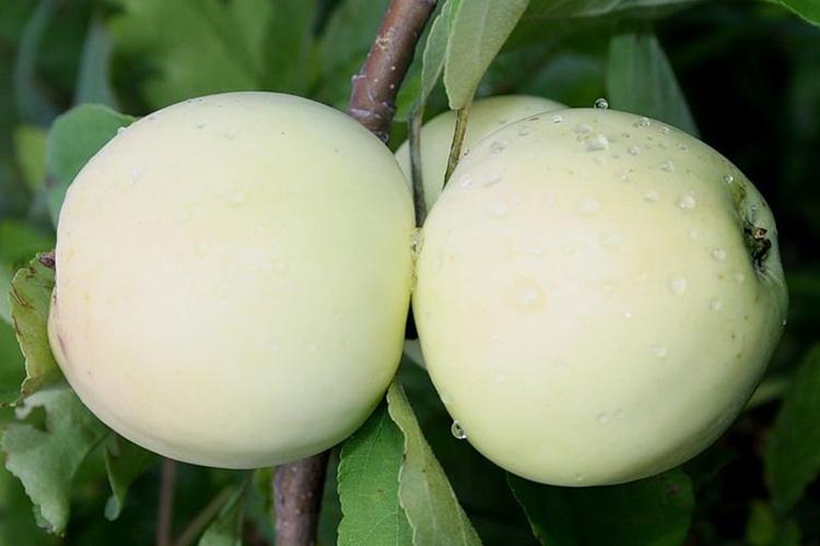 Белый налив яблоня описание фото
