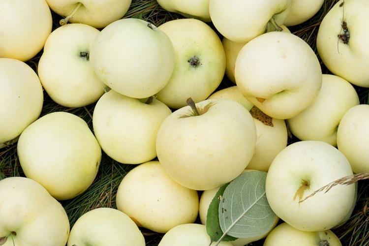 Урожайность яблони Белый Налив