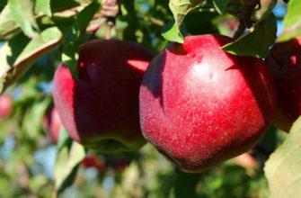 Описание сорта яблок Макинтош