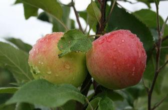 Описание сорта яблок Мантет