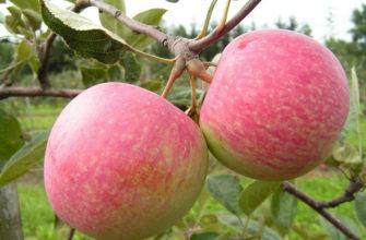 Описание сорта яблони Конфетное