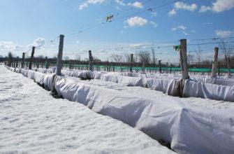 Способы укрытия винограда на зиму