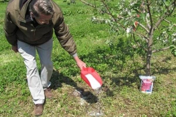 Описание сорта яблок Грушовка Московская