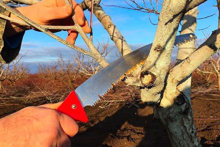 Как обрезать персик осенью