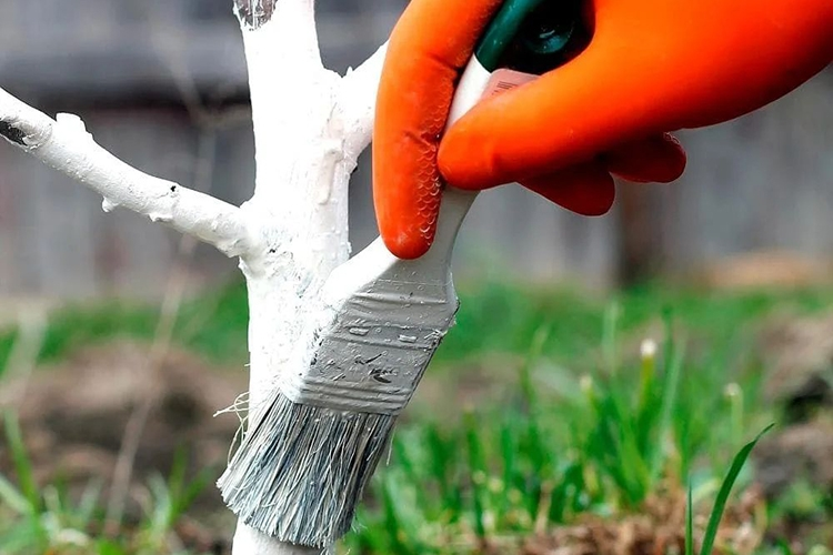 Зачем белить деревья