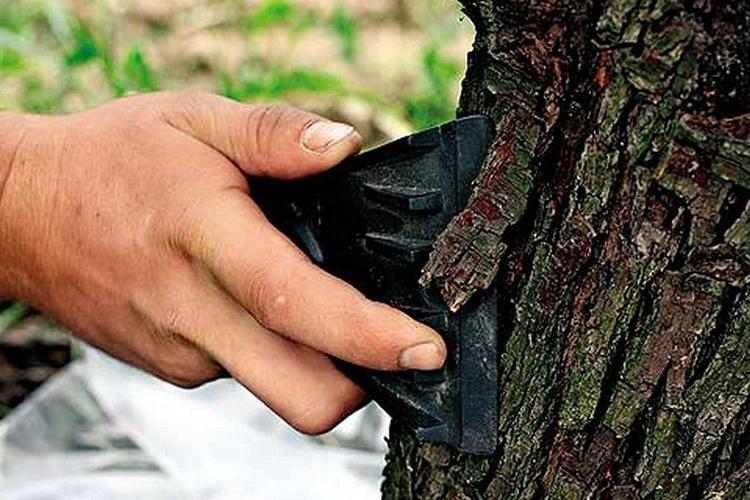 Зачистка ствола дерева перед побелкой