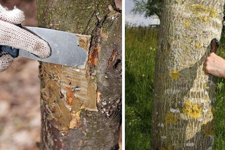 Обработка ран и трещин на дереве перед побелкой