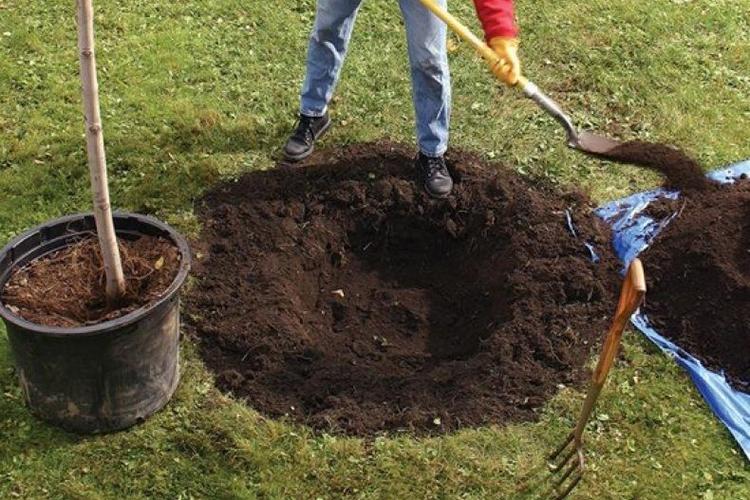 Подготовка ямы под саженец груши