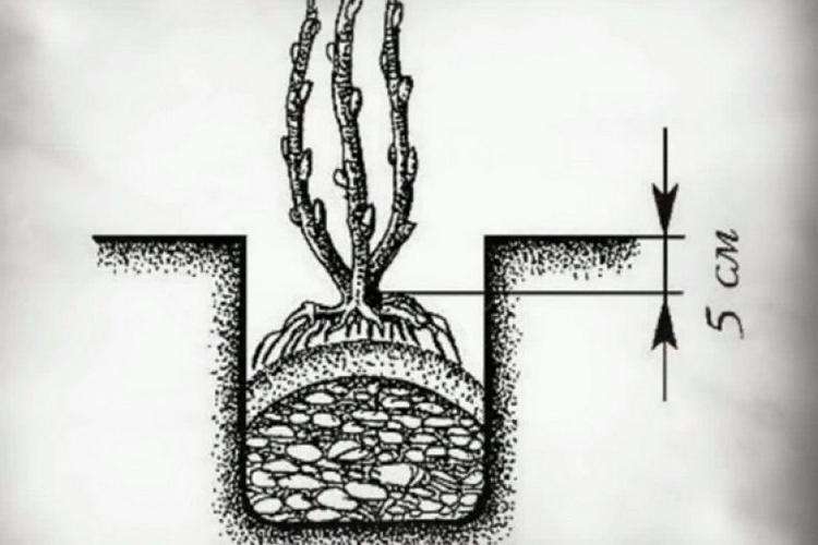 Посадка калины