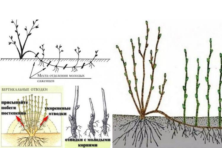 Размножение калины вертикальными отводками