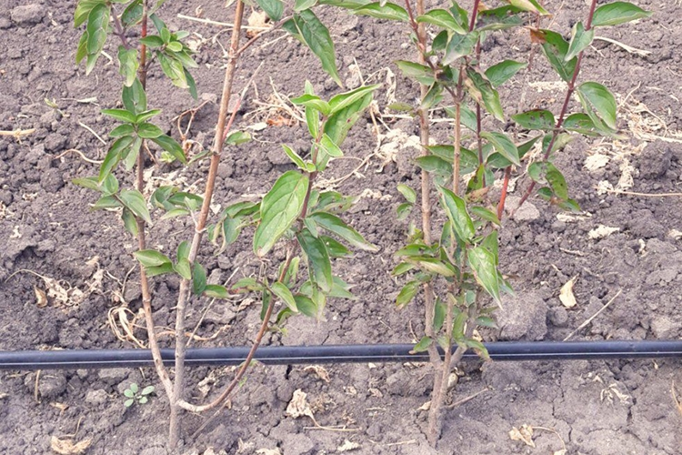 Как посадить кизил осенью