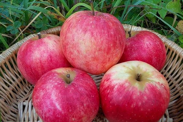 Описание сорта яблок Штрейфлинг