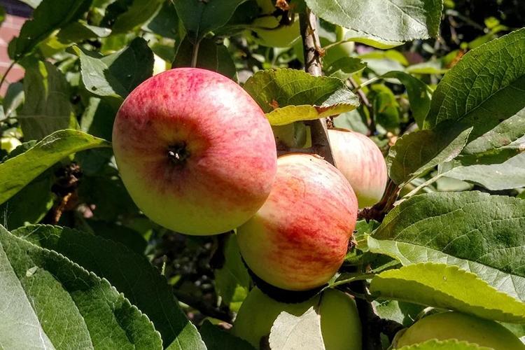 Достоинства и недостатки сорта яблок Грушовка Московская