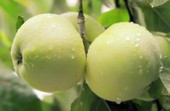Описание сорта яблок Антоновка