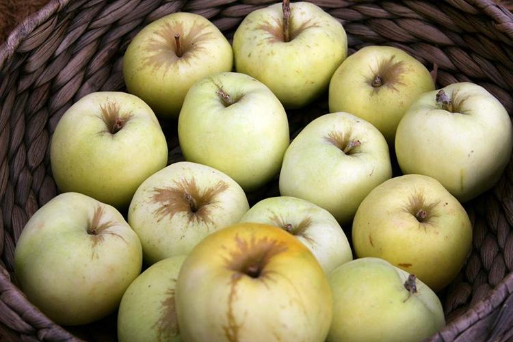 Сорт яблок Антоновка - урожайность