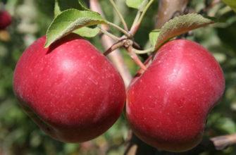 Описание сорта яблок Джонатан